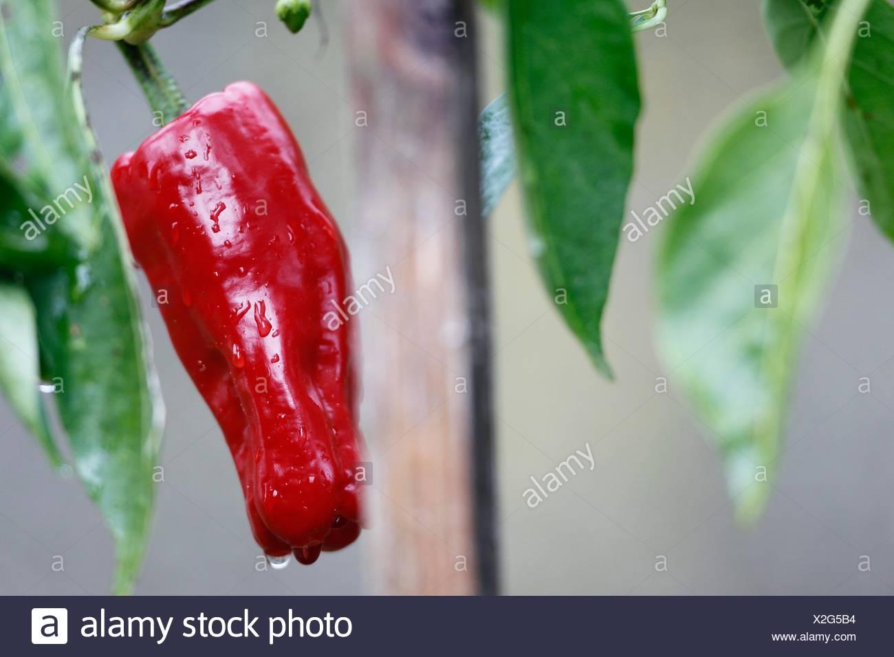 Il pepe è uno degli ortaggi più comunemente utilizzato quando cocinar essenziale.ingrediente di molti piatti, peperoni vengono in una varietà di forme e colori Immagini Stock