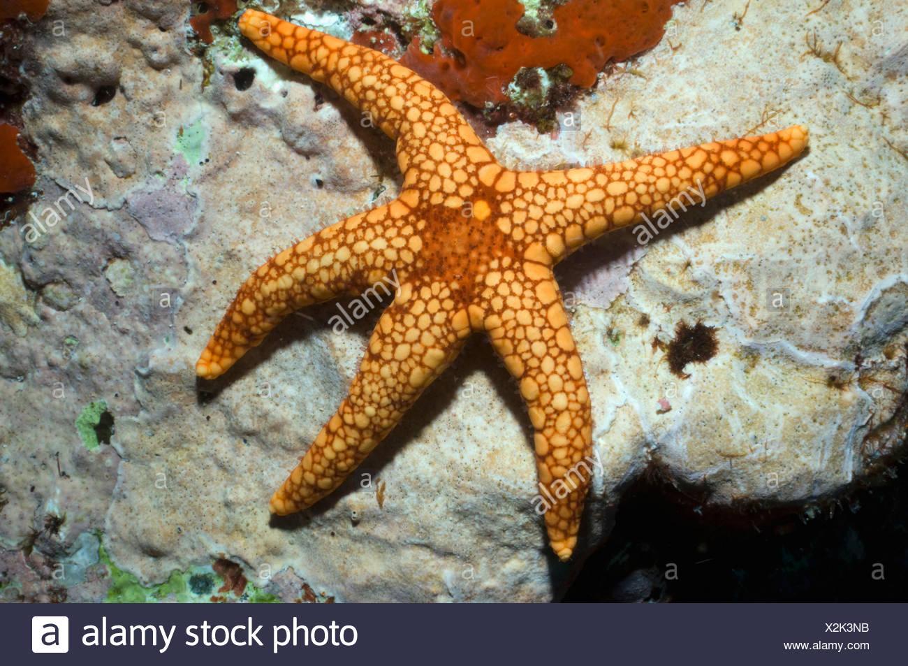 Collana di stelle marine o stella di mare indonesia dauno