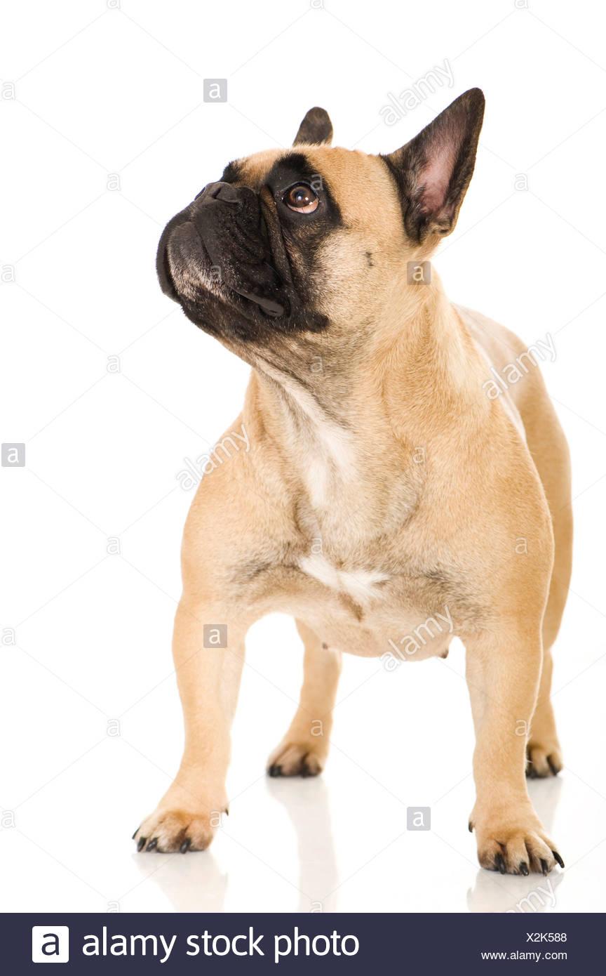 Bulldog Francese Permanente Degli Adulti Studio Immagine Contro