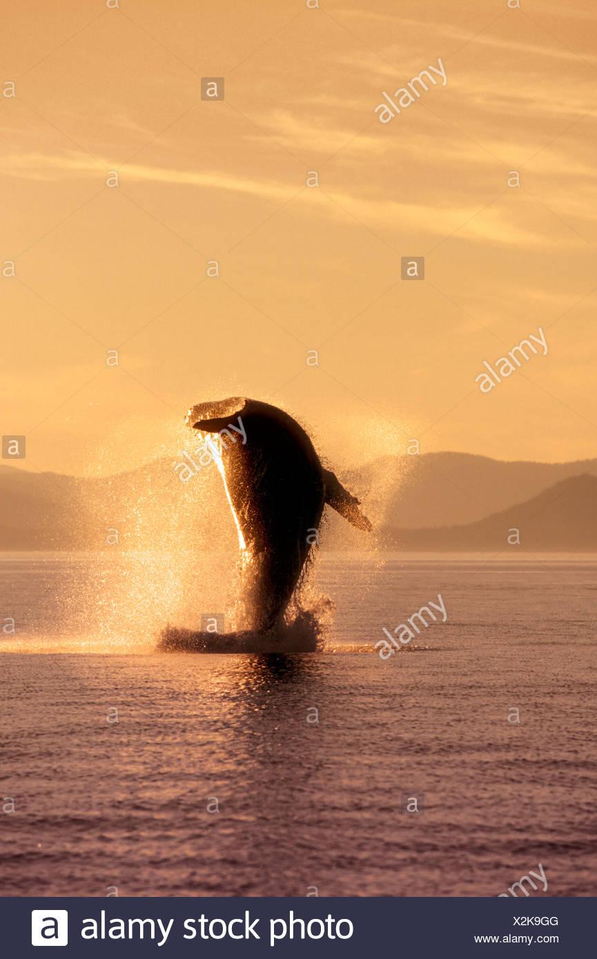 Humpback Whale violare nel passaggio interno SE AK retroilluminato estate Immagini Stock