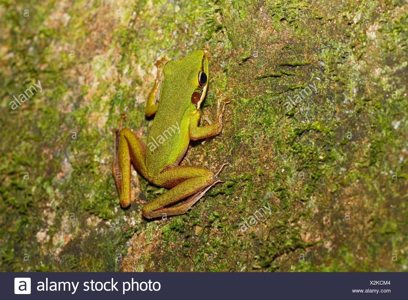Bianco-rana a labbro (Rana chalconota), vero rana nella foresta pluviale tropicale, Sarawak, Borneo, Malaysia Immagini Stock