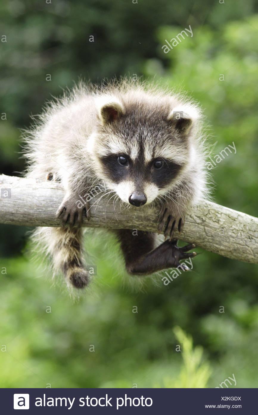 Giovani raccoon (Procione lotor) appesa sopra un ramo / Immagini Stock