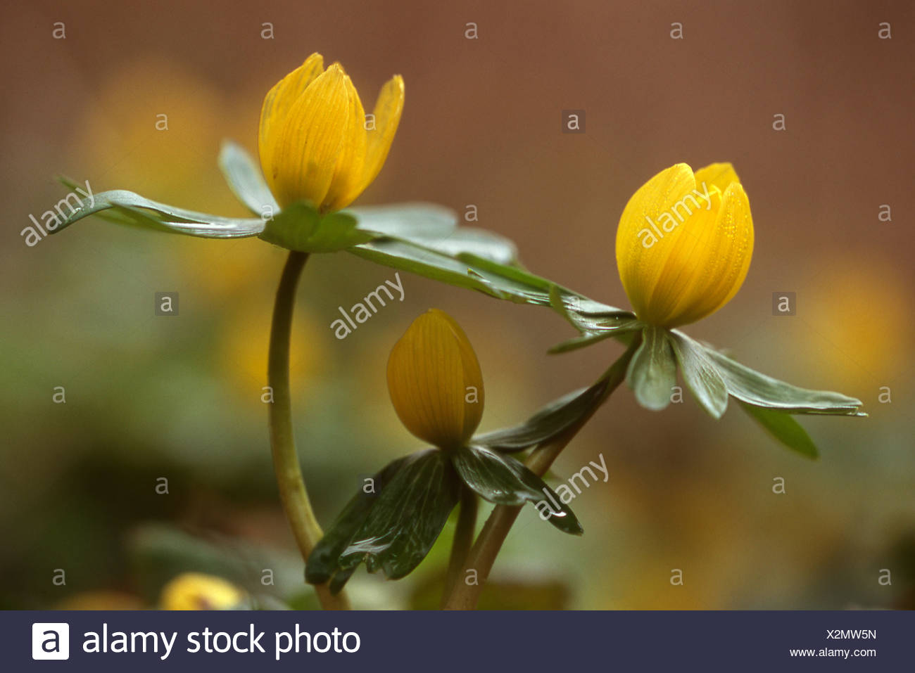Fiori Gialli Invernali.Drie Gele Bloemen Winterakoniet Op Grondhoogte Vanaf Zijkant Tre