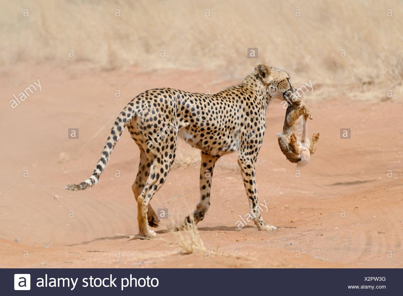 Africa, Kenya, Samburu riserva nazionale, ghepardo (Acinonyx jubatus) porta un coniglio cacciato nella sua bocca torna alla sua cubs Immagini Stock