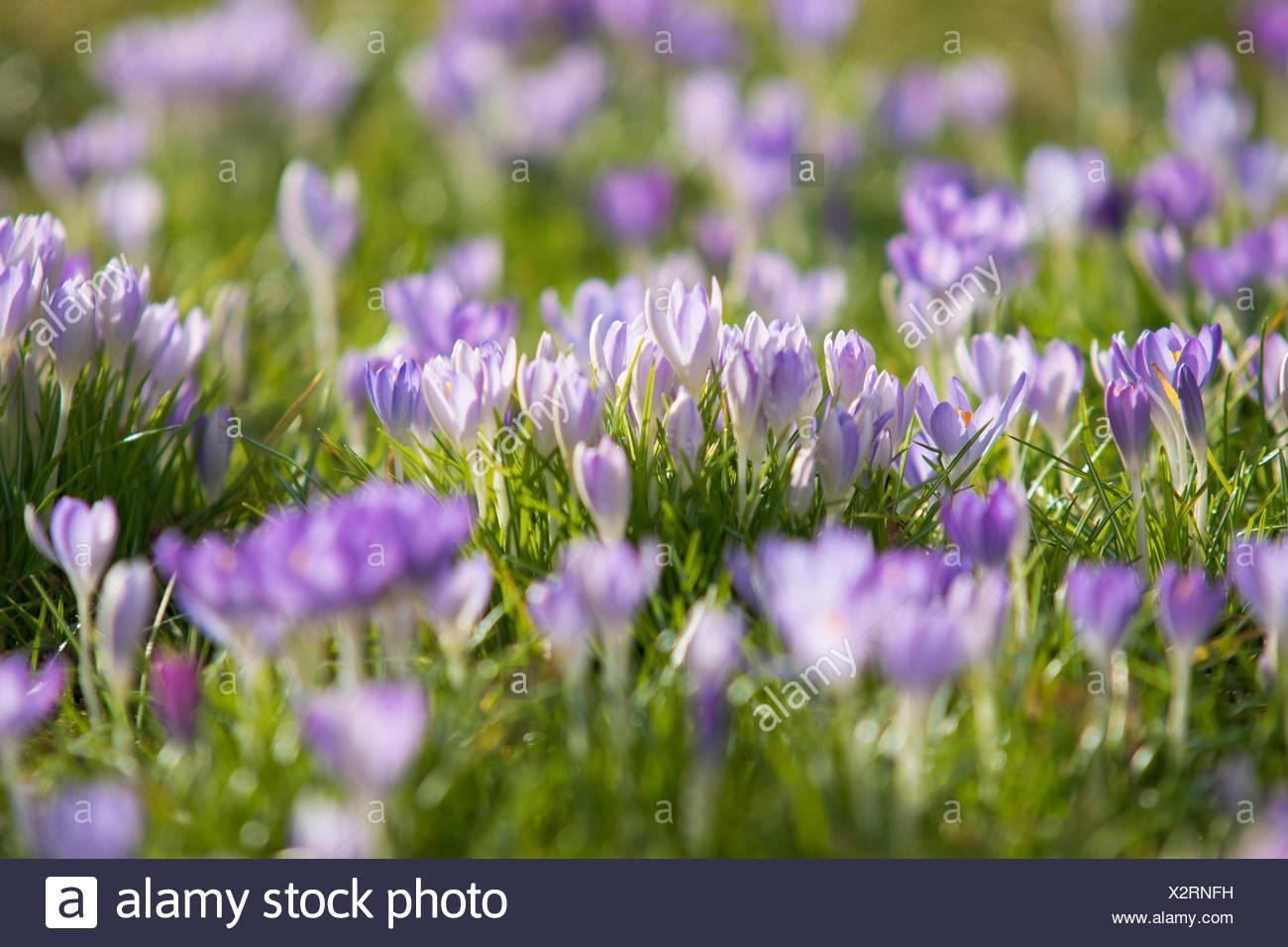 Crocus malva in piena fioritura,prosperare, Immagini Stock