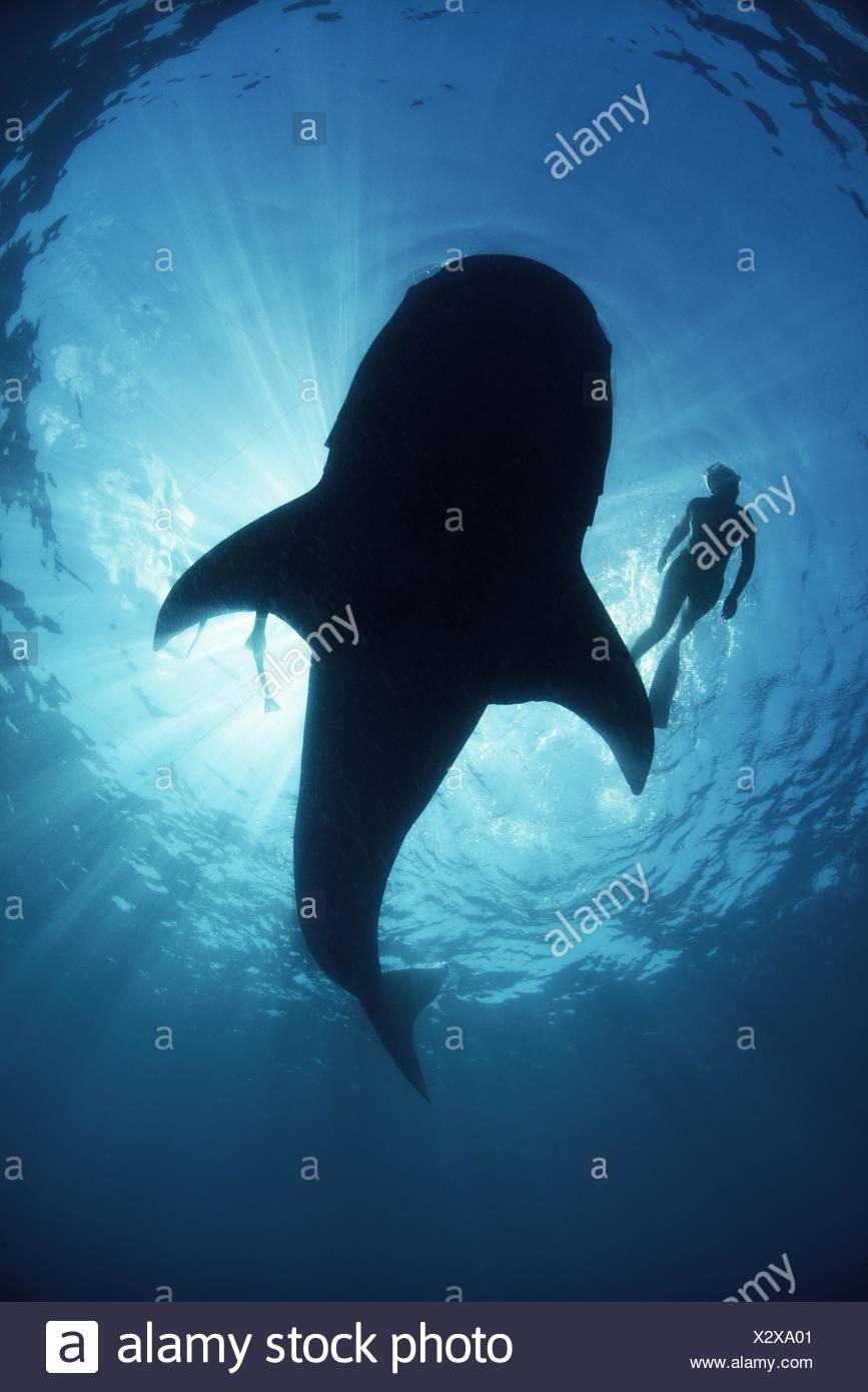 Vista subacquea da sotto un incurante di squalo balena di scuba diver nuoto a fianco, retroilluminato, Isla Mujeres, Messico Immagini Stock