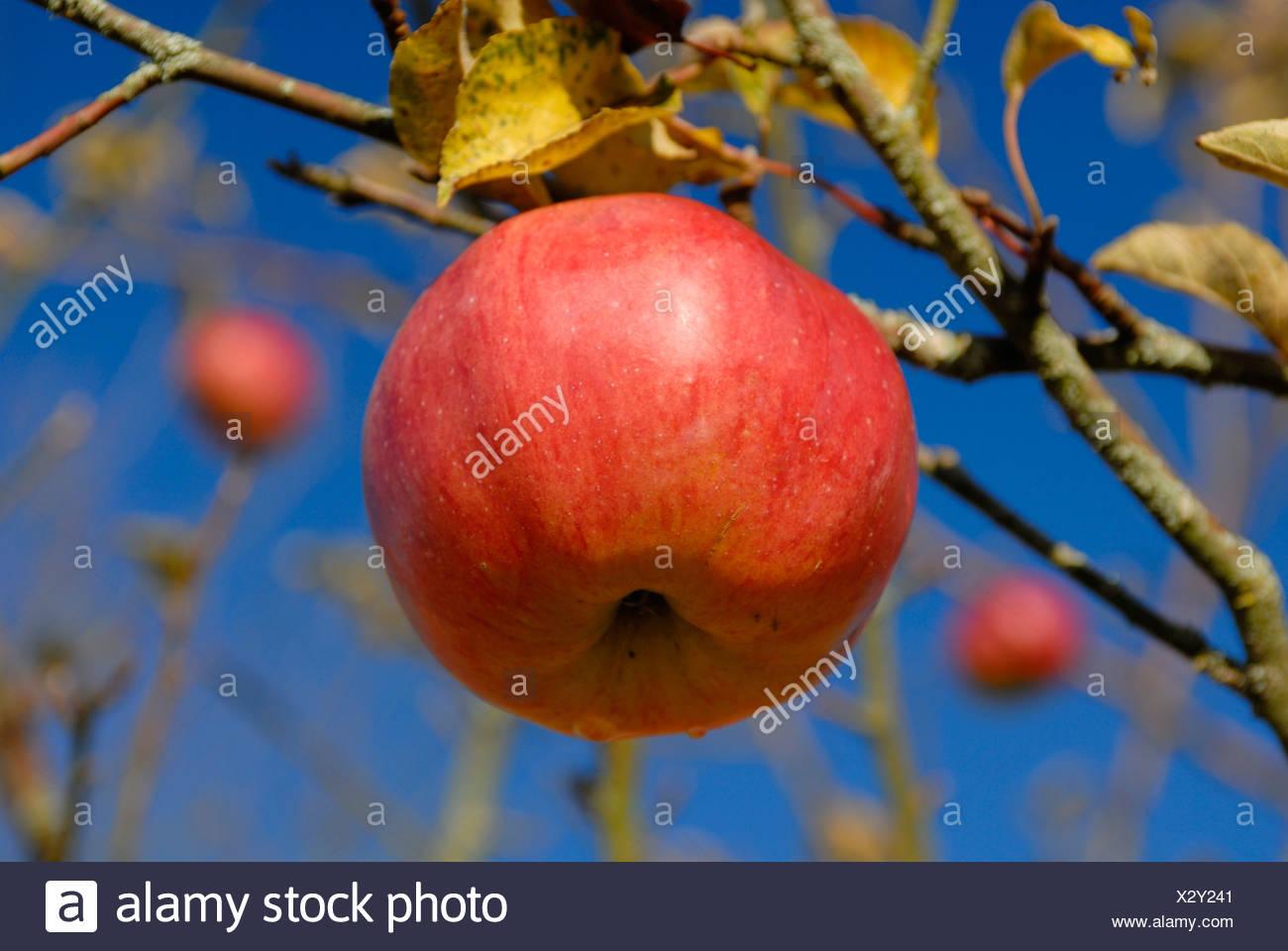Un maturo Apple su un albero di mele Immagini Stock