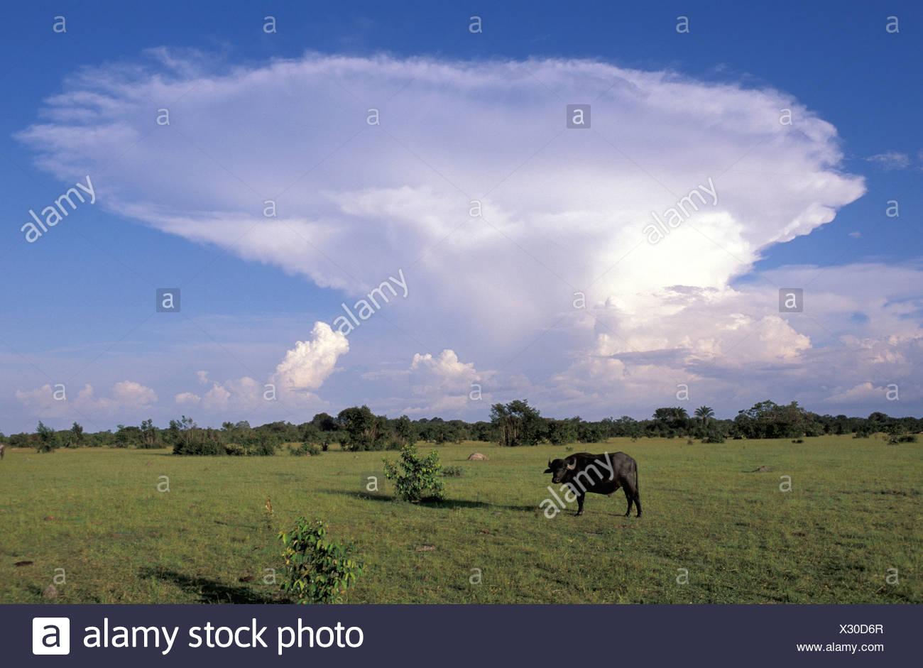 Fazenda, Bull, Ilha do Marajo, Amazon delta, Amazonia, Brasile, Sud America, agricoltura, animale Immagini Stock