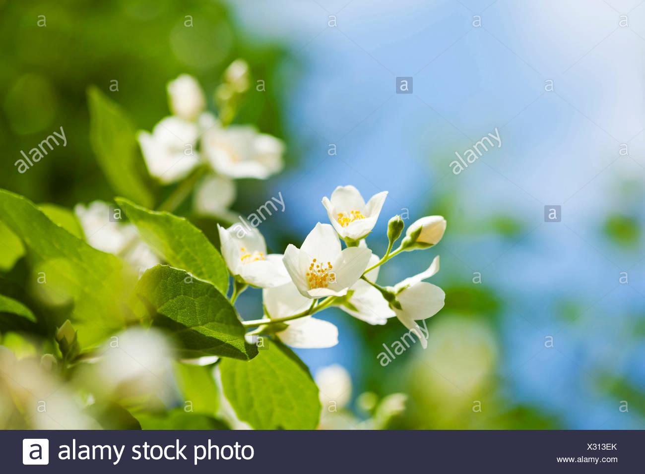 Belli freschi Fiori di gelsomino in giardino, la fotografia macro Immagini Stock