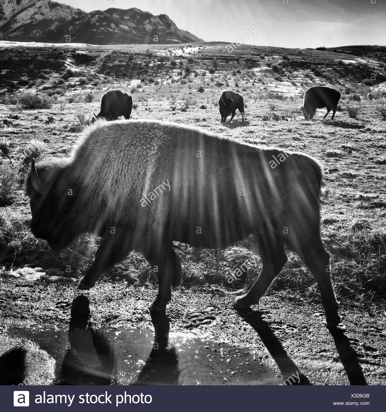 Bison raccogliere in un soleggiato Campo lungo il Parco Nazionale di Yellowstone il confine settentrionale in Gardiner, Montana. Immagini Stock
