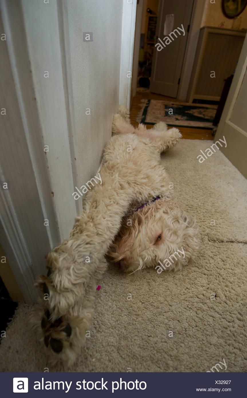 La fantasia doodle cane si allunga. Immagini Stock