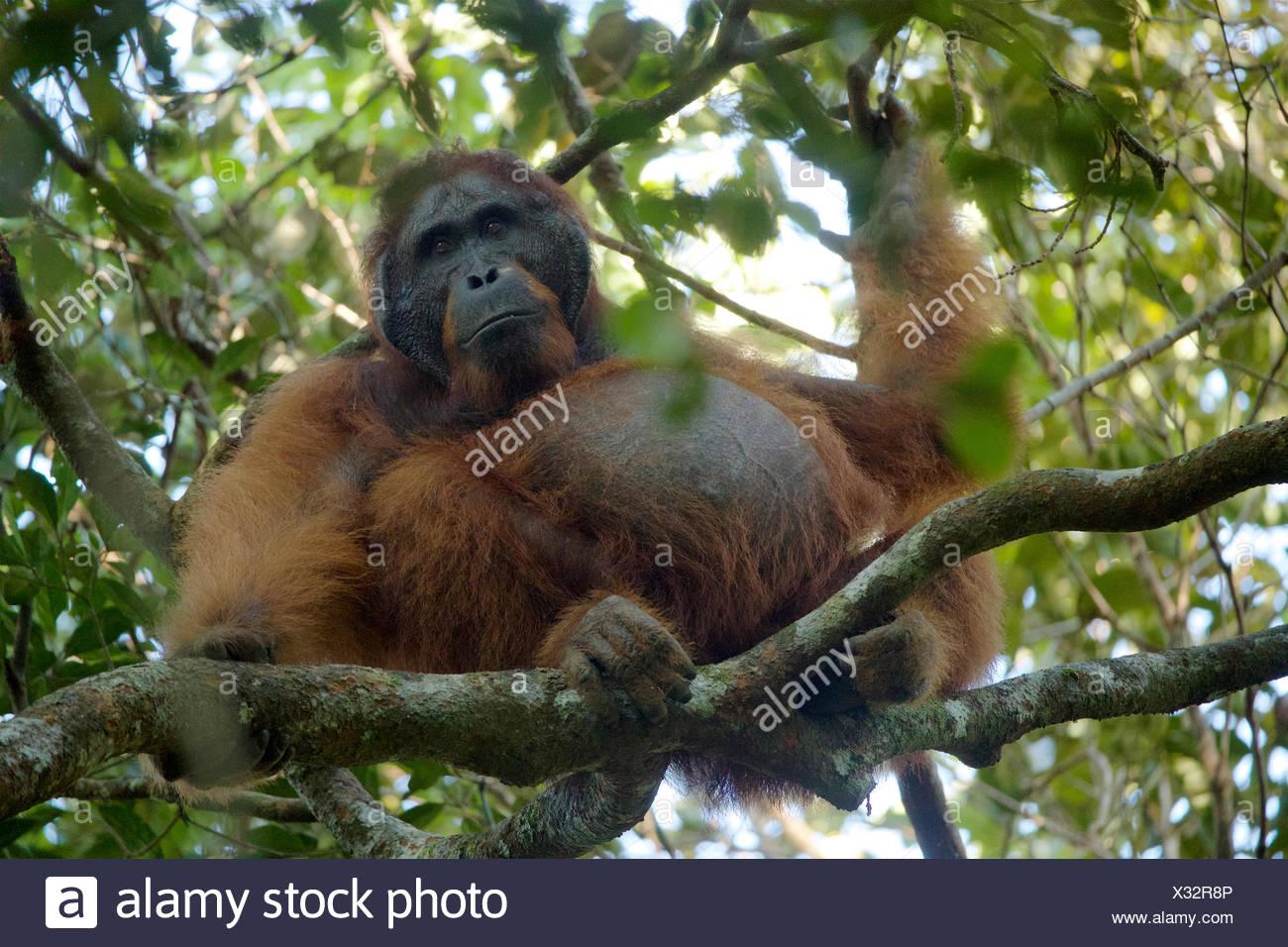 Un maschio adulto Bornean orangutan, pongo pygmaeus wurmbii, poggia su un ramo di albero in Gunung Palung National Park. Immagini Stock