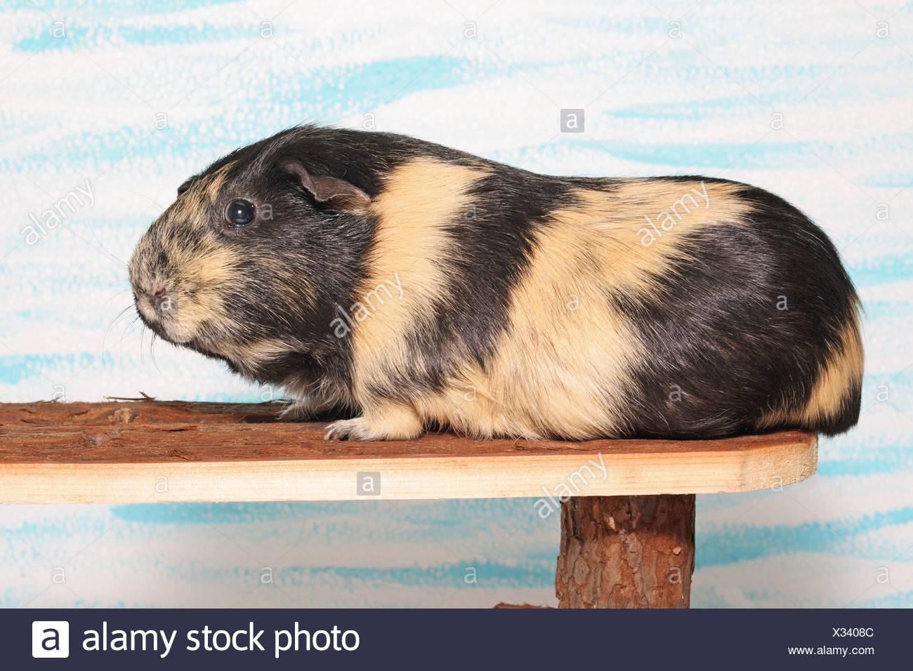 Guinea Pig - sul passaggio in legno Immagini Stock