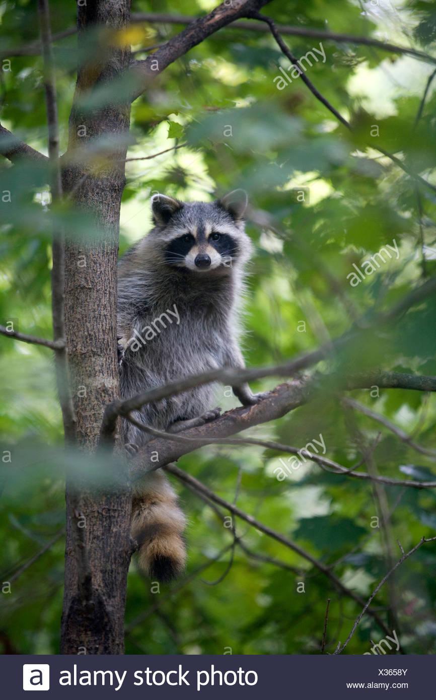 Raccoon in una struttura ad albero Immagini Stock