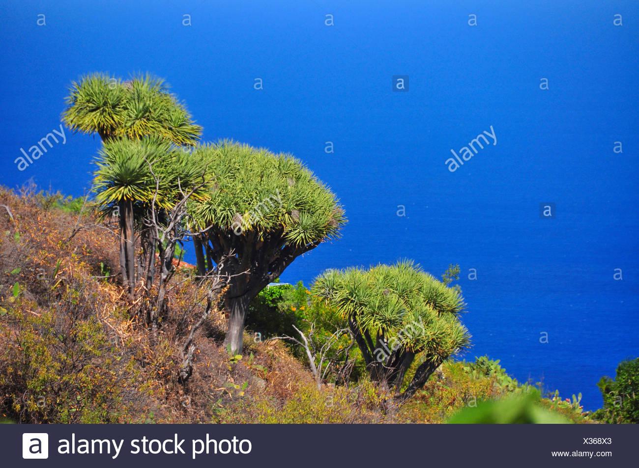 Drago di strappo il sangue, Draegon Tree, Isole Canarie Dragon Tree, Drago (Dracaena draco), Draegon Alberi di fronte a mare Isole Canarie La Palma Immagini Stock