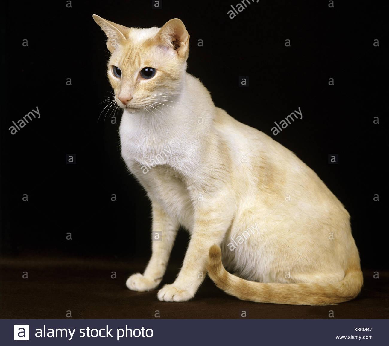 Punto Rosso Siamese Gatto Domestico Adulti Su Sfondo Nero Foto