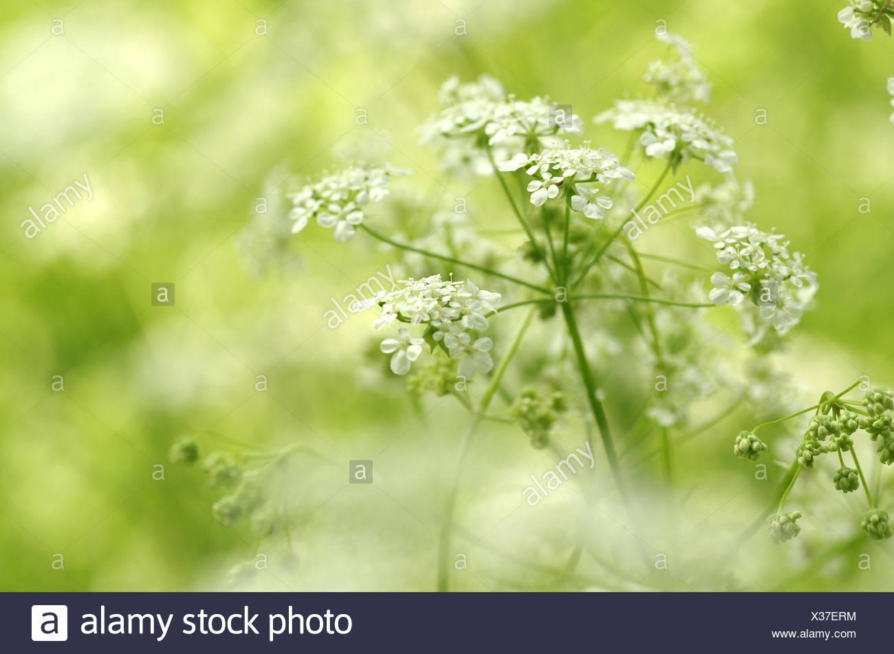 I fiori di mucca prezzemolo contro l atmosfera onirica Immagini Stock