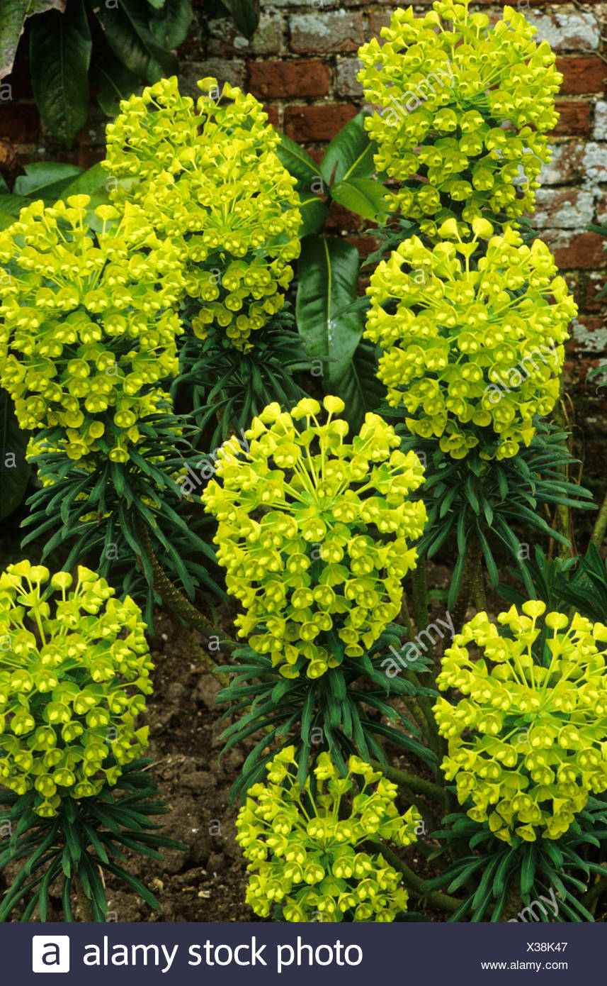 Fiori Gialli Giardino.Euphorbia Characias Subsp Wulfenii John Tomlinson Milkweed