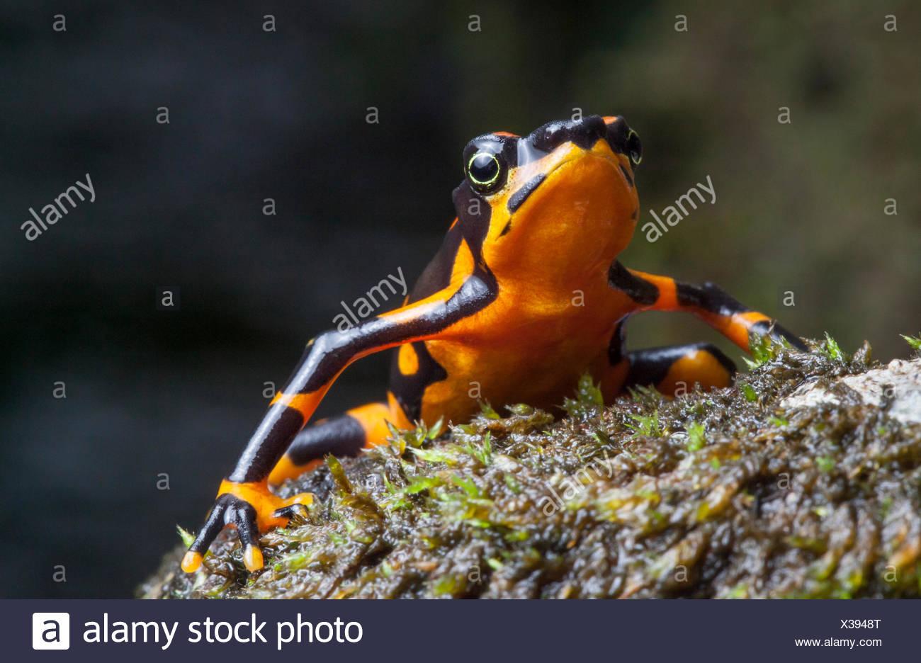 Ritratto di una variabile harlequin rana, Atelopus varius, criticamente una specie in via di estinzione. Immagini Stock