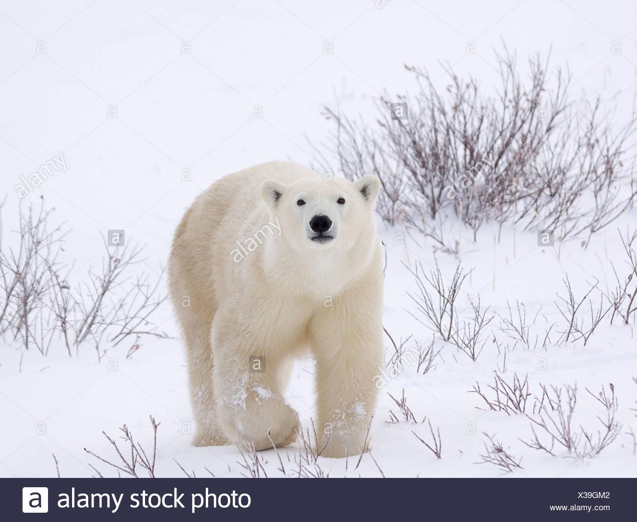 Orso polare la riattivazione in tutta coperta di neve campo Immagini Stock
