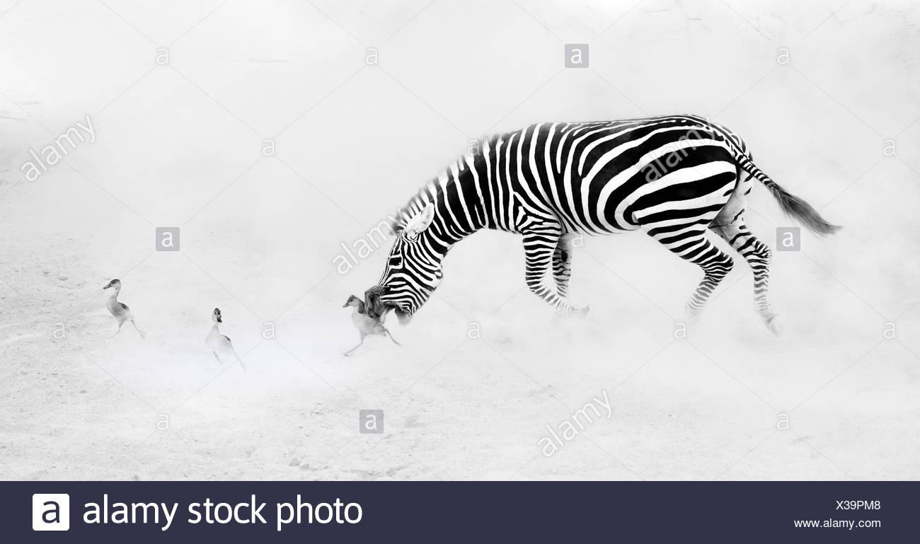 Zebra (Perissodactyla) inseguono goslings Immagini Stock