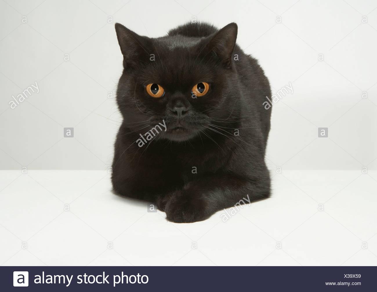 Gatto Nero Coccoloso Immagini Gatto Nero Coccoloso Fotos Stock Alamy
