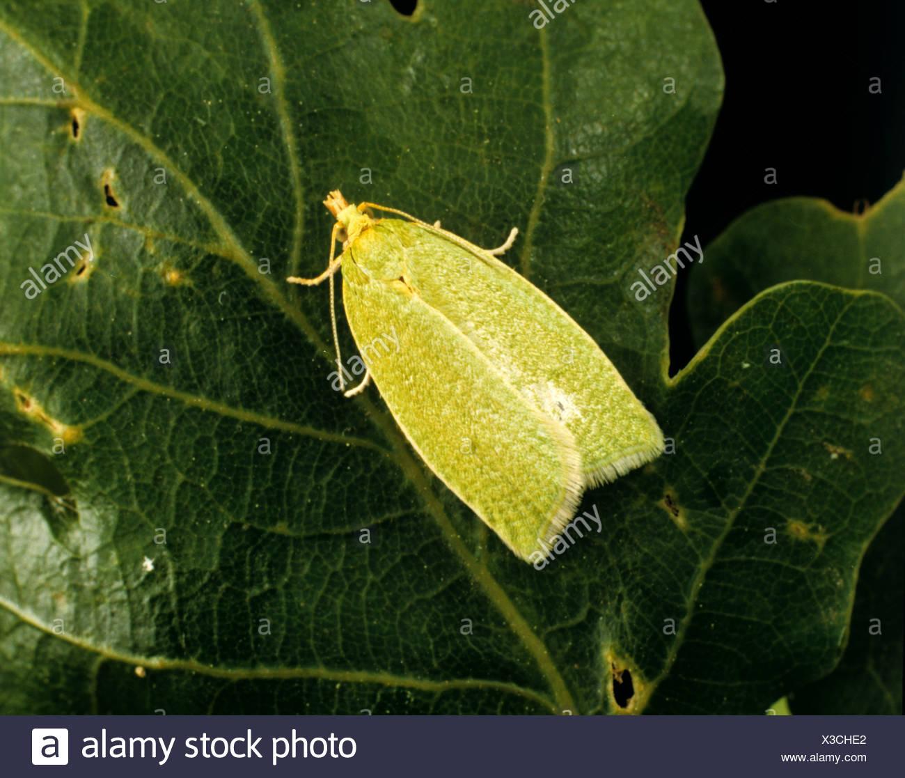 Oak tortrix tarma (Tortrix viridana) su una foglia di quercia Immagini Stock