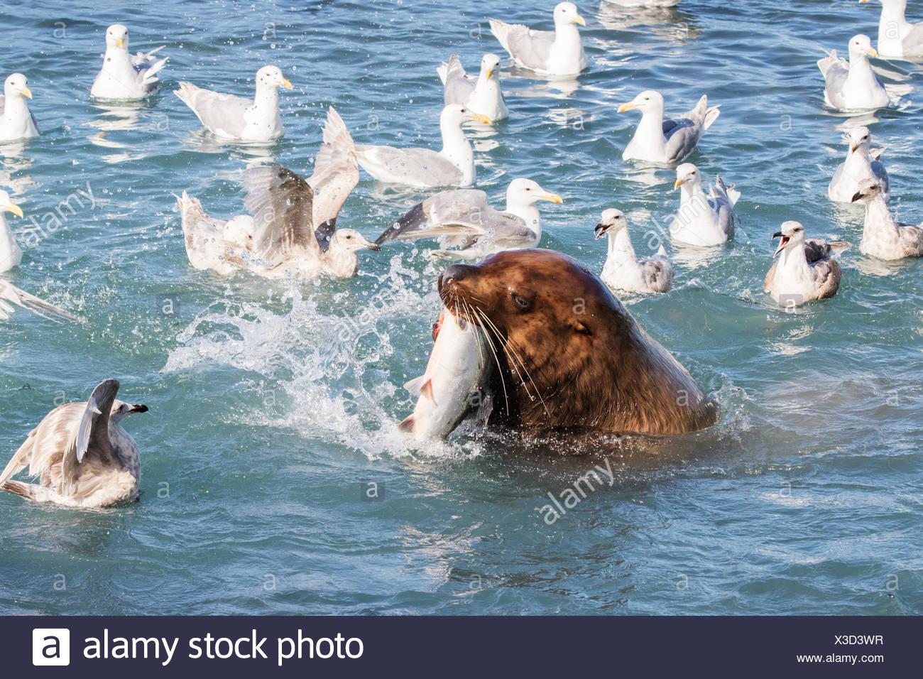 Un leone di mare nuota nel fish weir area e afferra un rosa salmone (Oncorhynchus gorbuscha), Allison punto, fuori Valdez Immagini Stock