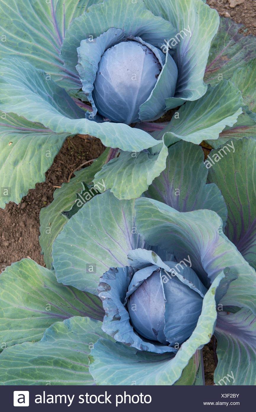 Cavolo rosso, viola, cavolo rosso kraut, blu kraut (Brassica oleracea var. capitata f. rubra), cavolo rosso in un giardino, Germania Immagini Stock