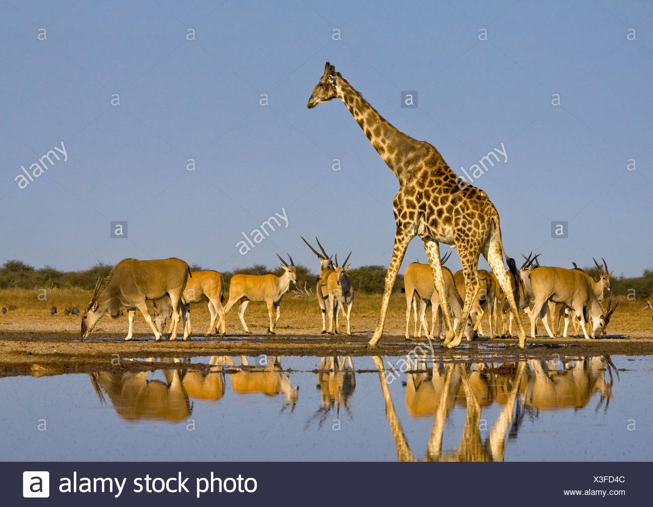 Giraffa e Eland a Waterhole, il Parco Nazionale di Etosha, Namibia. Immagini Stock