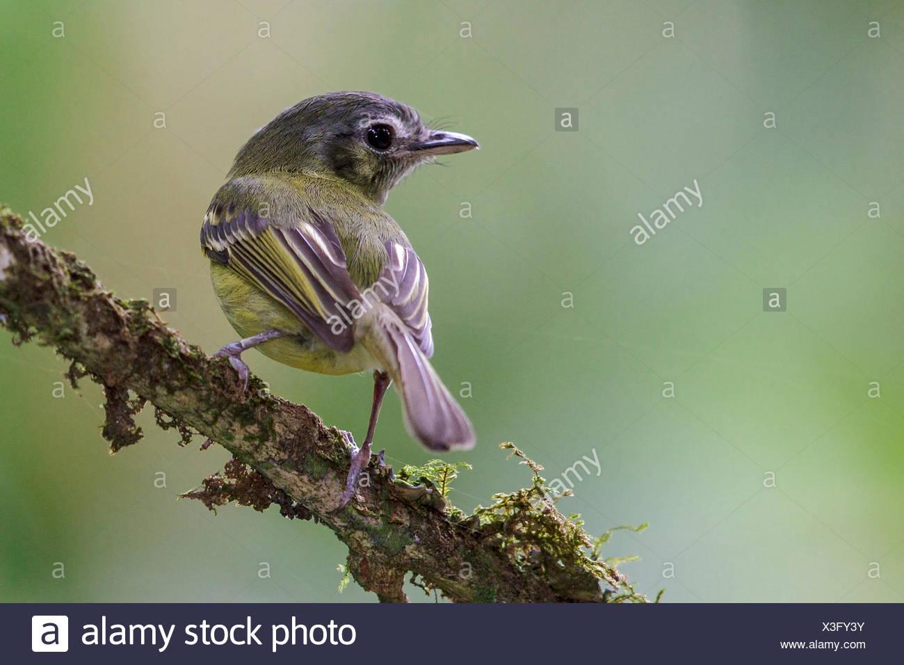São Paulo Tyrannulet (Phylloscartes paulista) appollaiato su un ramo nella foresta pluviale atlantica del sud-est del Brasile. Immagini Stock