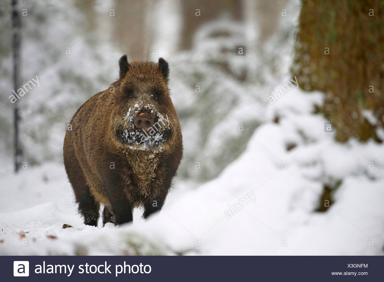 Wildschwein, Wild-Schwein, Schwarzwild (Sus scrofa), im Winter auf Nahrungssuche, Deutschland, Bayern | cinghiale, maiale, wild boa Immagini Stock