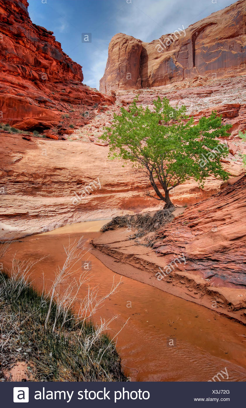 Stati Uniti d'America, Utah, Glen Canyon National Recreation Area, Lone Tree in Coyote Gulch Immagini Stock