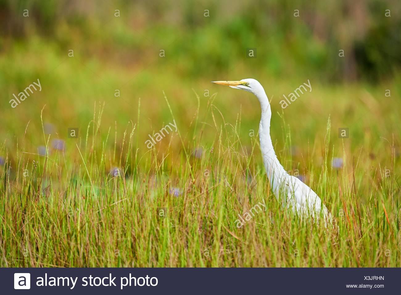 Airone bianco maggiore (Ardea alba) nelle paludi di Mabamba, il lago Victoria, Uganda. Immagini Stock