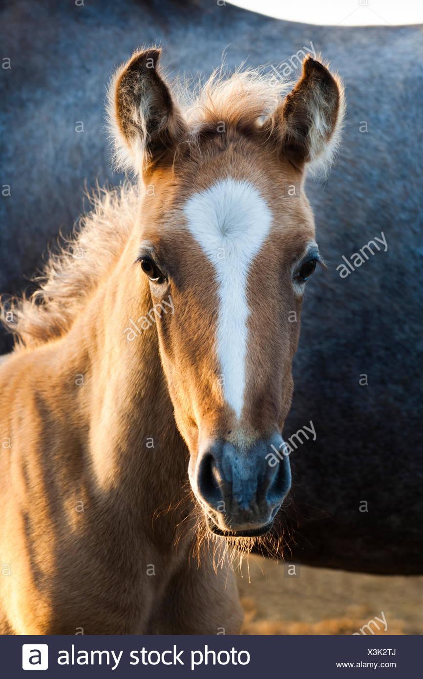 Cavallo lusitano, puledro, Andalusia, Spagna Immagini Stock