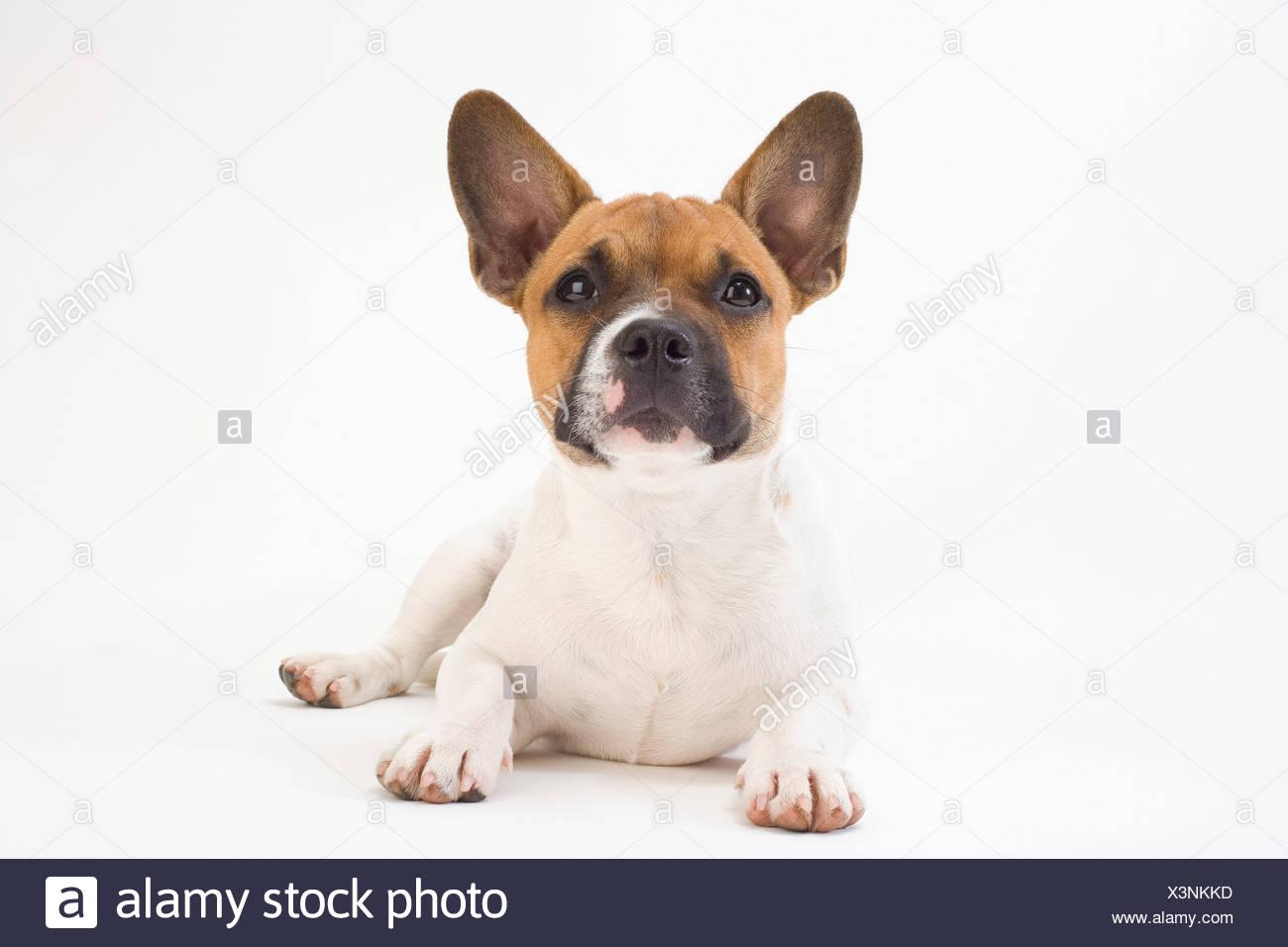 Ritratto di mongrel cucciolo Immagini Stock