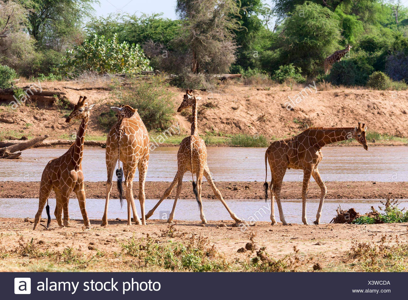 Le giraffe reticolate o giraffe somala (Giraffa camelopardalis reticulata) dal fiume, Samburu riserva nazionale, Kenya Foto Stock