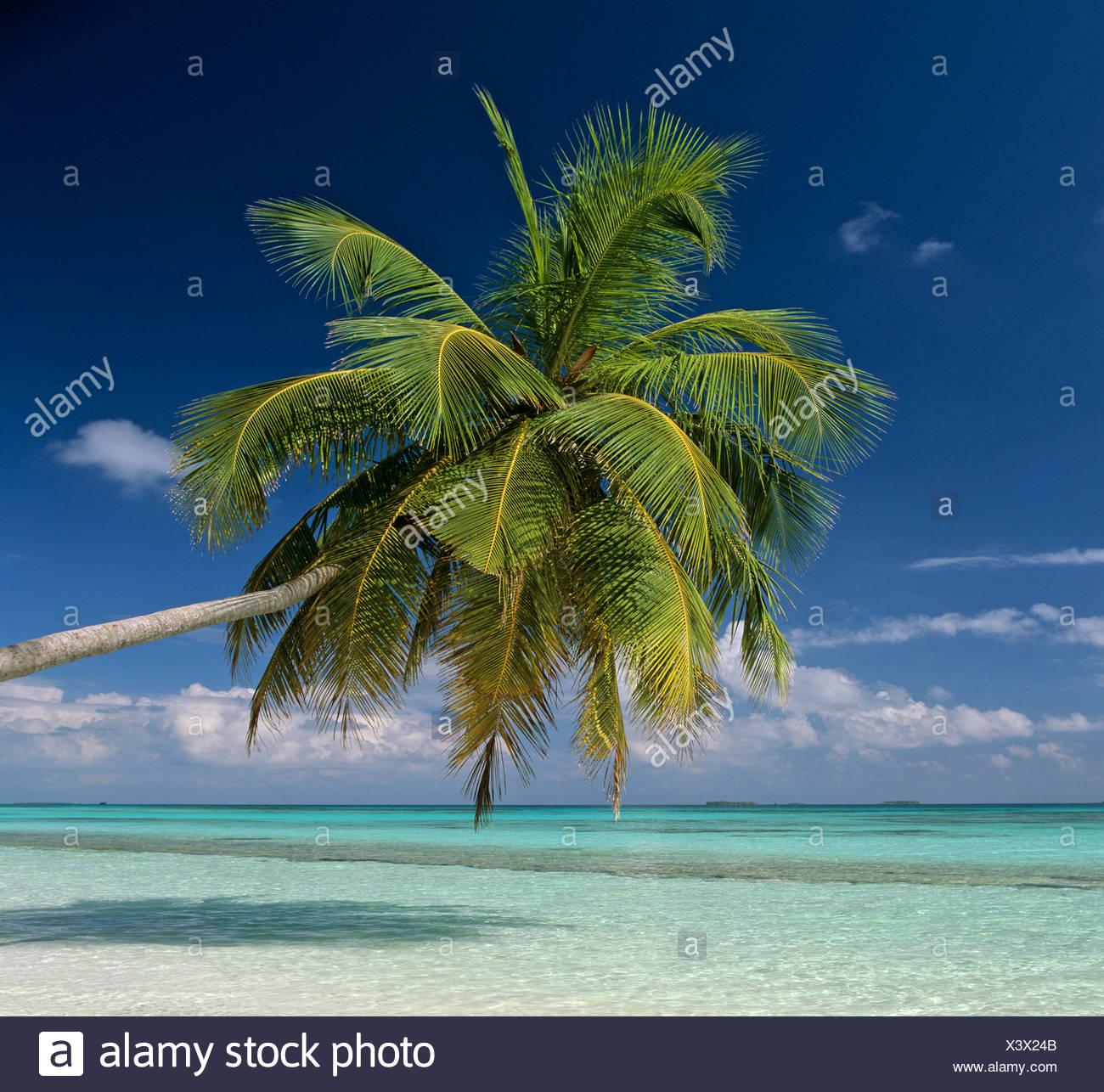 Palm tree, acque turchesi e la spiaggia, Maldive, Oceano Indiano Immagini Stock