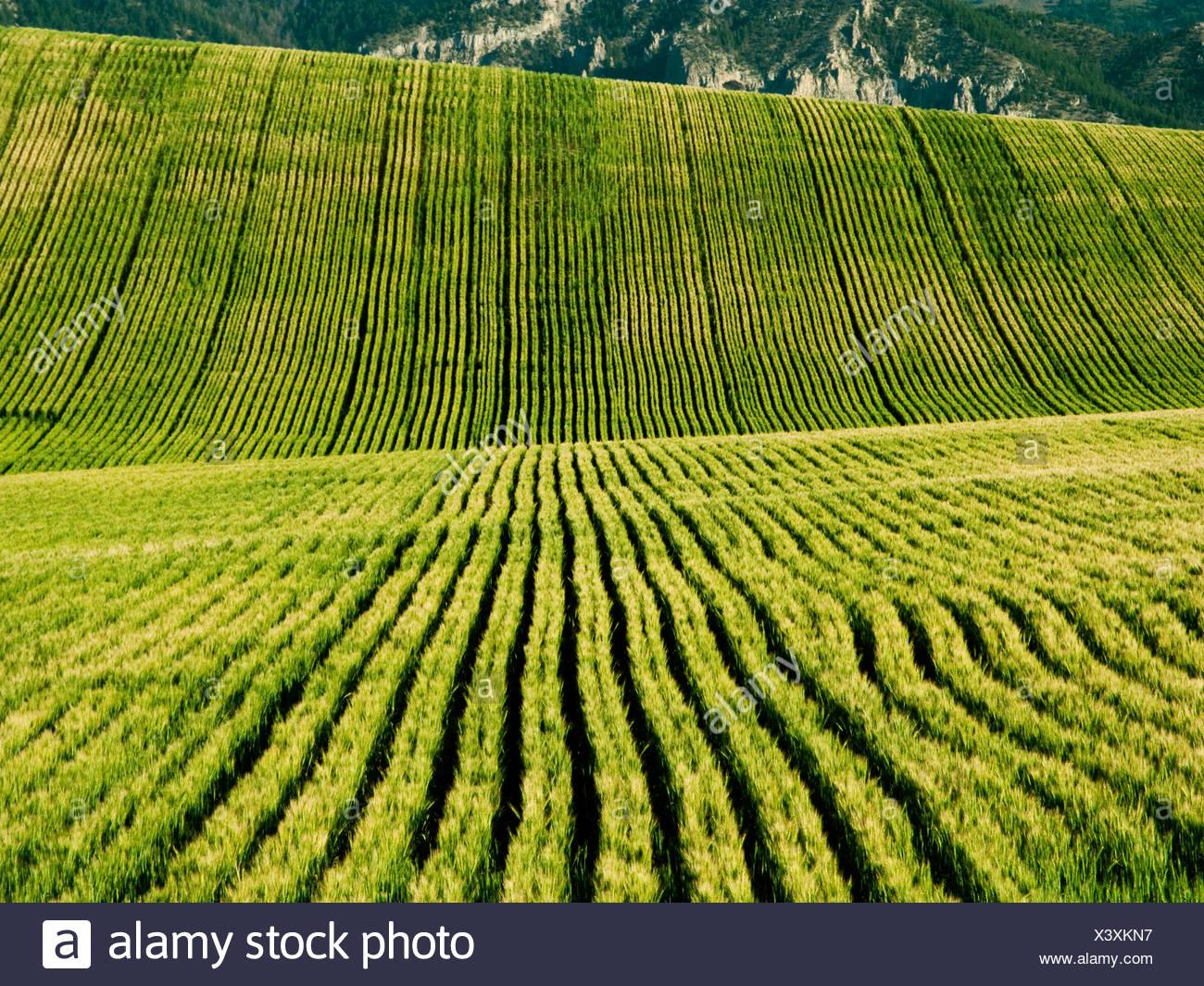Agricoltura - campo di rotolamento di maturazione frumento primaverile / Idaho, Stati Uniti d'America. Immagini Stock