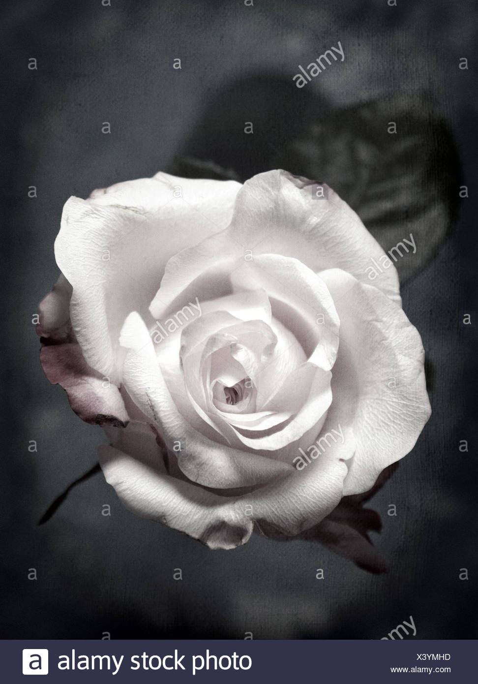 Close Up Di Una Rosa Bianca Su Sfondo Nero Foto Immagine Stock