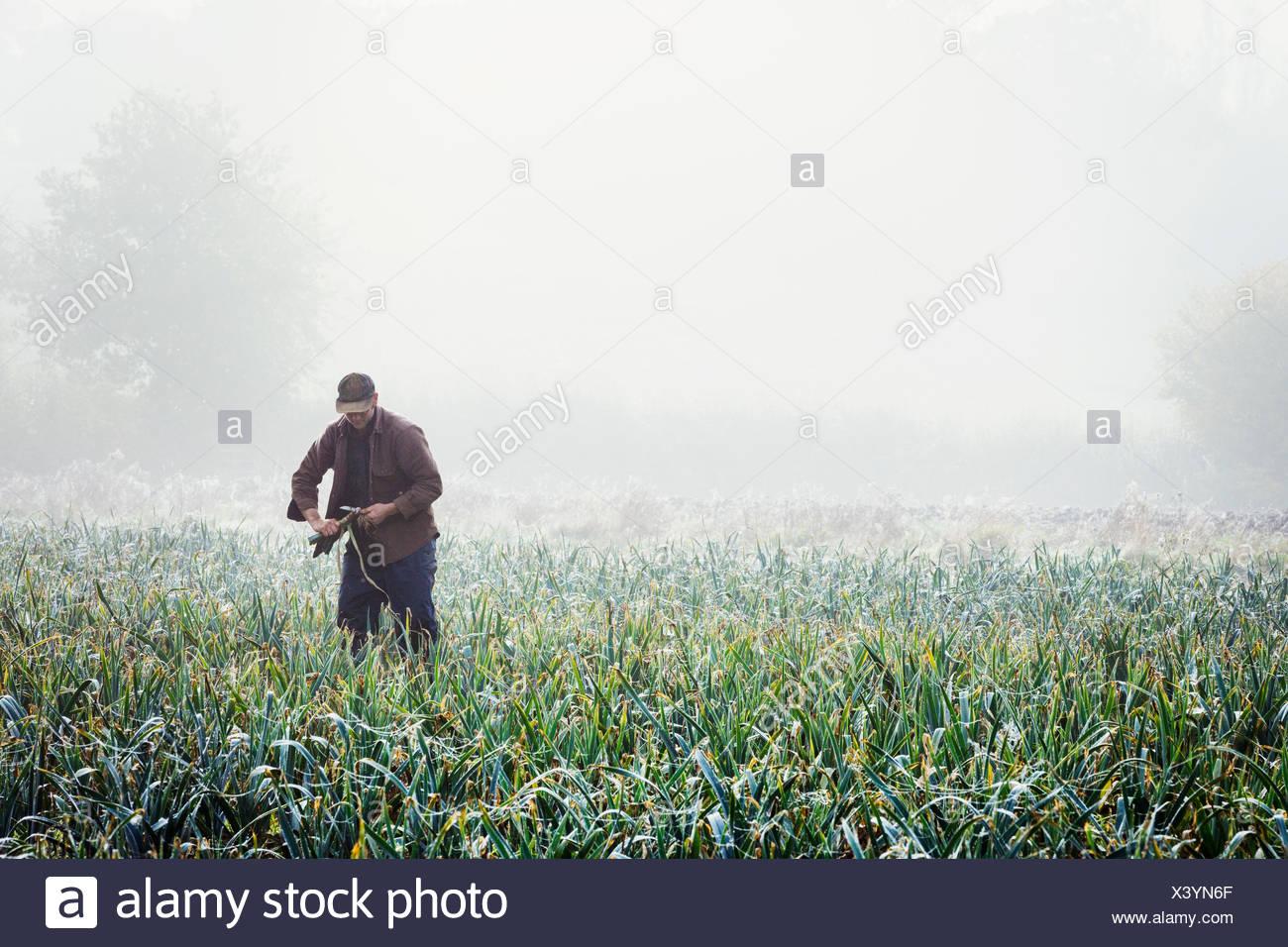 Un uomo di sollevamento e rifilatura porri organico in un campo, di nebbia che salgono dal terreno. Immagini Stock