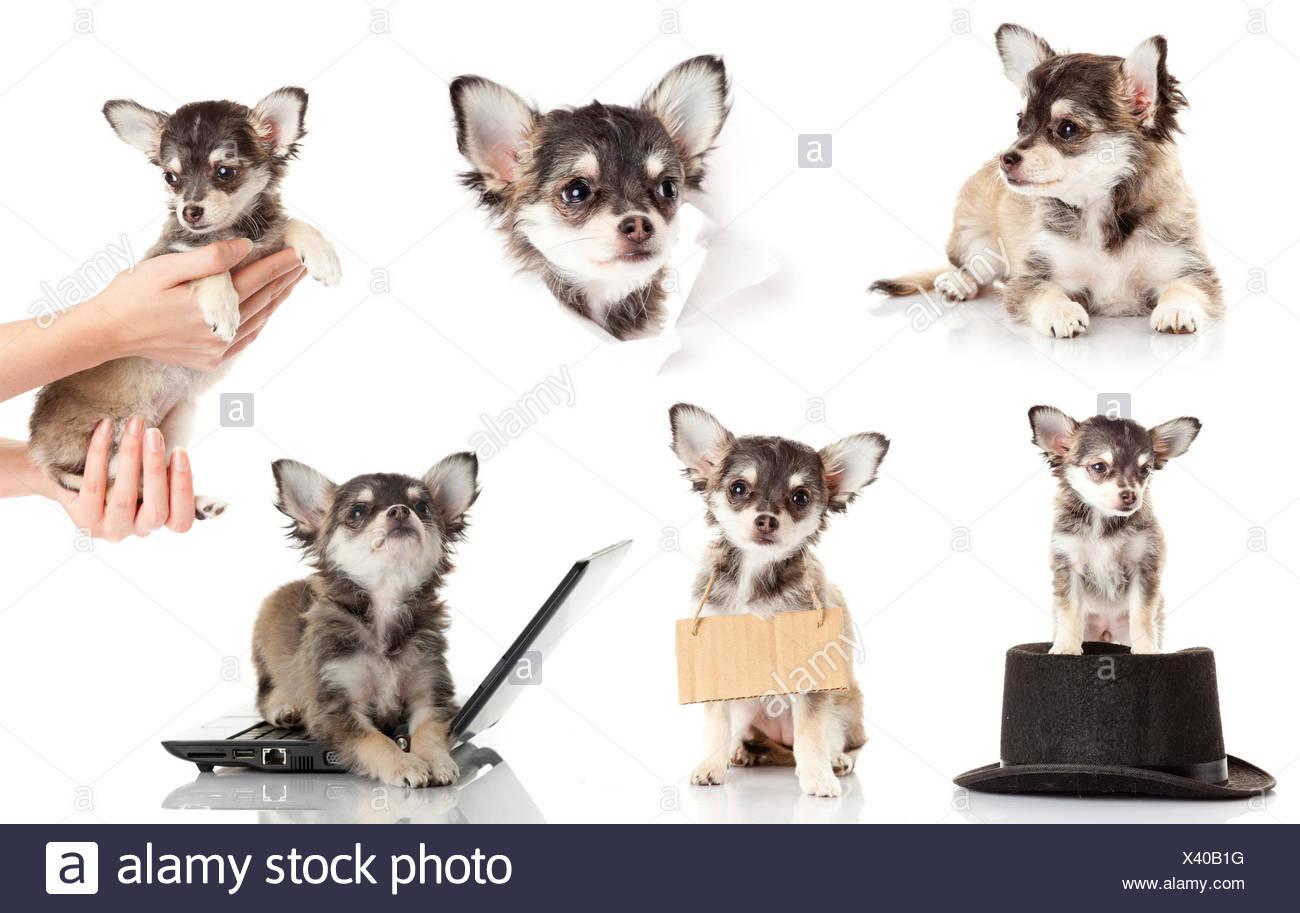 Set Di Chihuahua Cucciolo Carino Di Razza Chihuahua Davanti A Uno