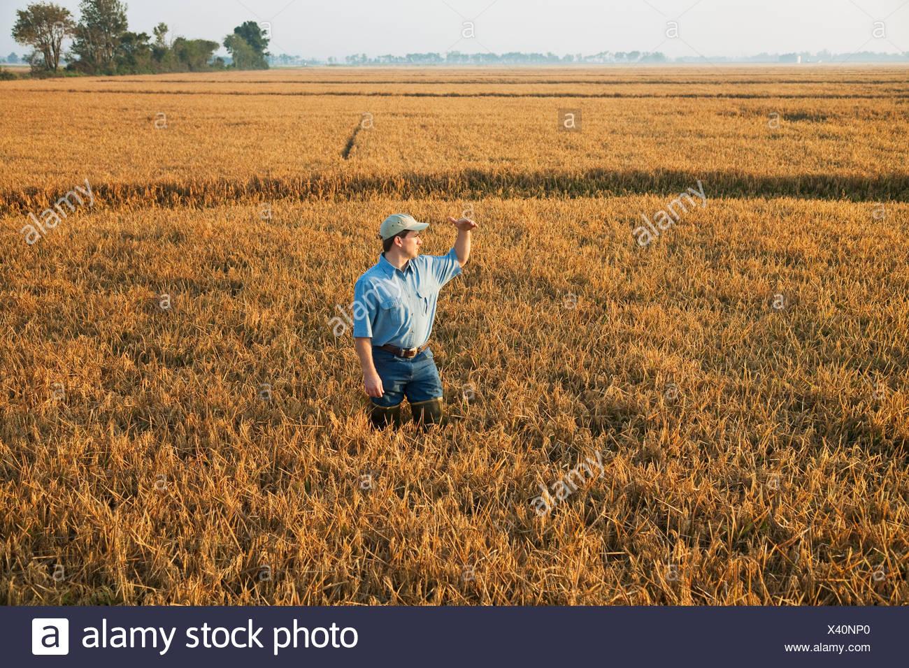 Un contadino (coltivatore) in piedi nel suo campo ispeziona il suo quasi maturi il raccolto di riso al fine di determinare se la vendemmia inizia a. Immagini Stock