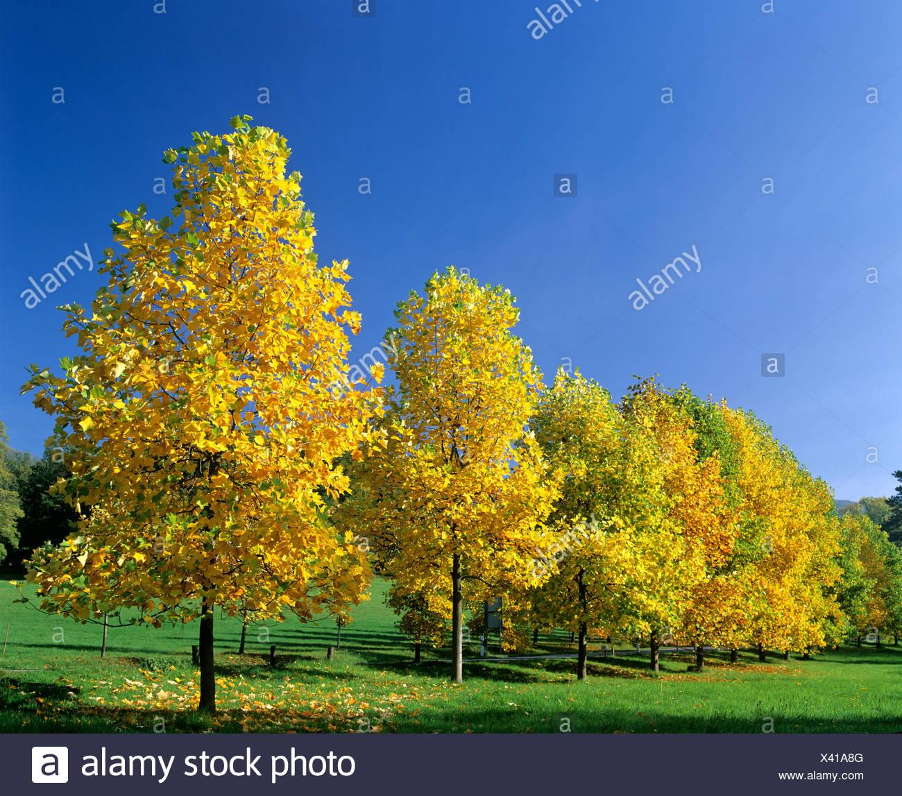 Giovani alberi di Acero (Acer) in autunno, fogliame autunnale, Germania, Europa Immagini Stock