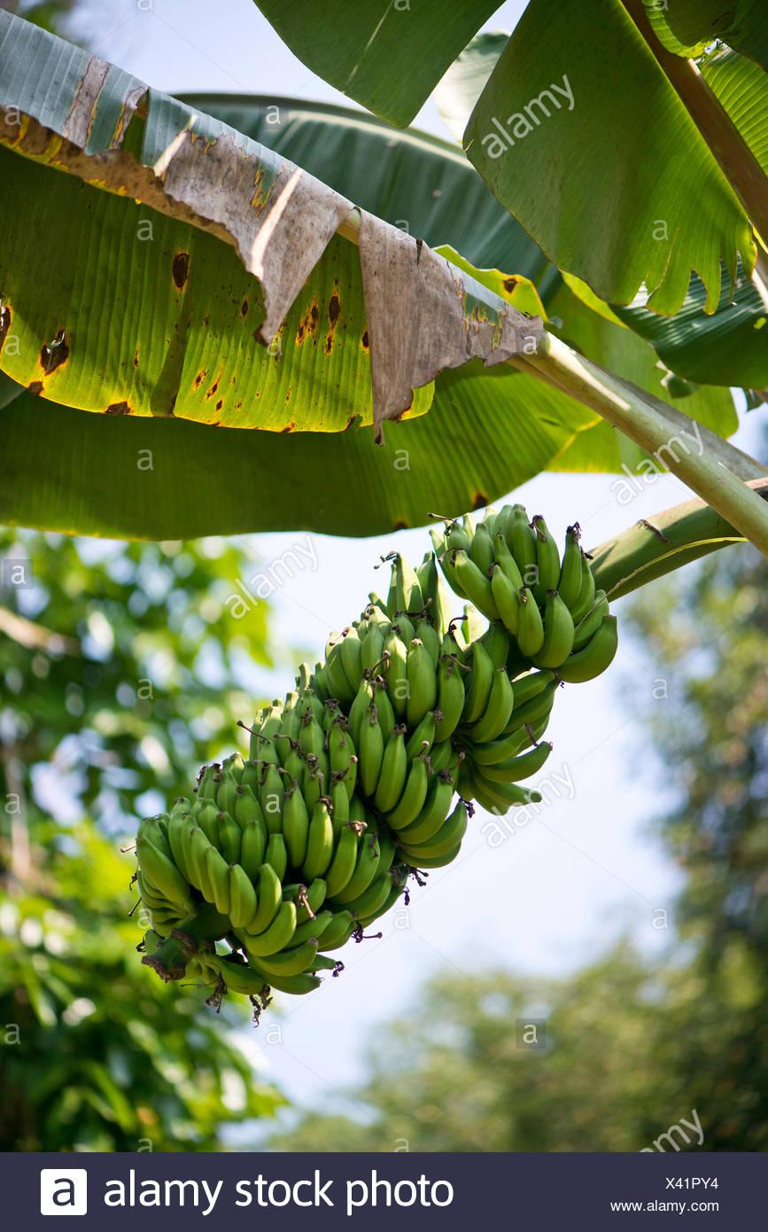 Pianta Di Banana Foto piante di banana (musa paradisiaca), peermade, kerala, india