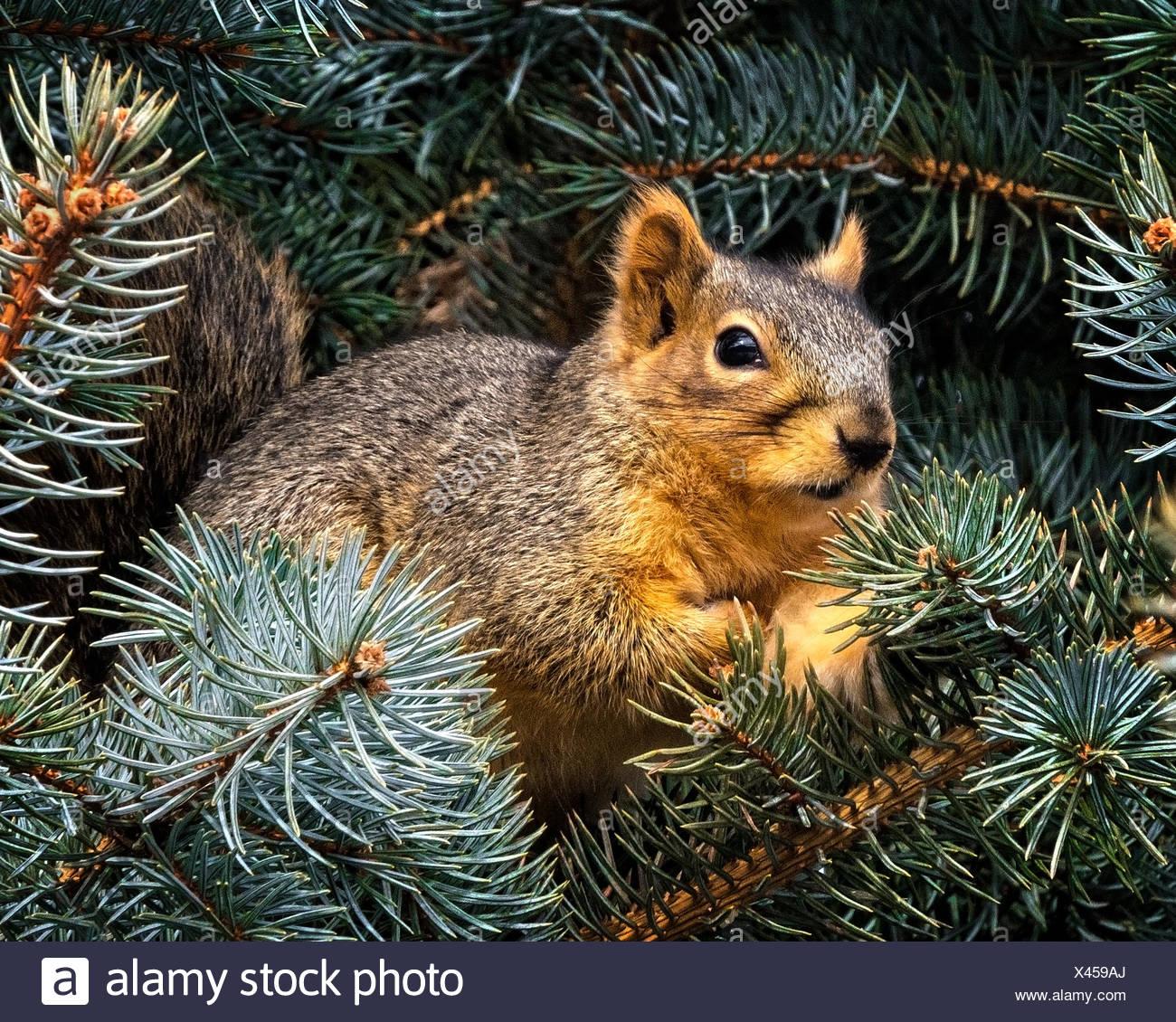 Close-up di scoiattolo in rami di pino Immagini Stock