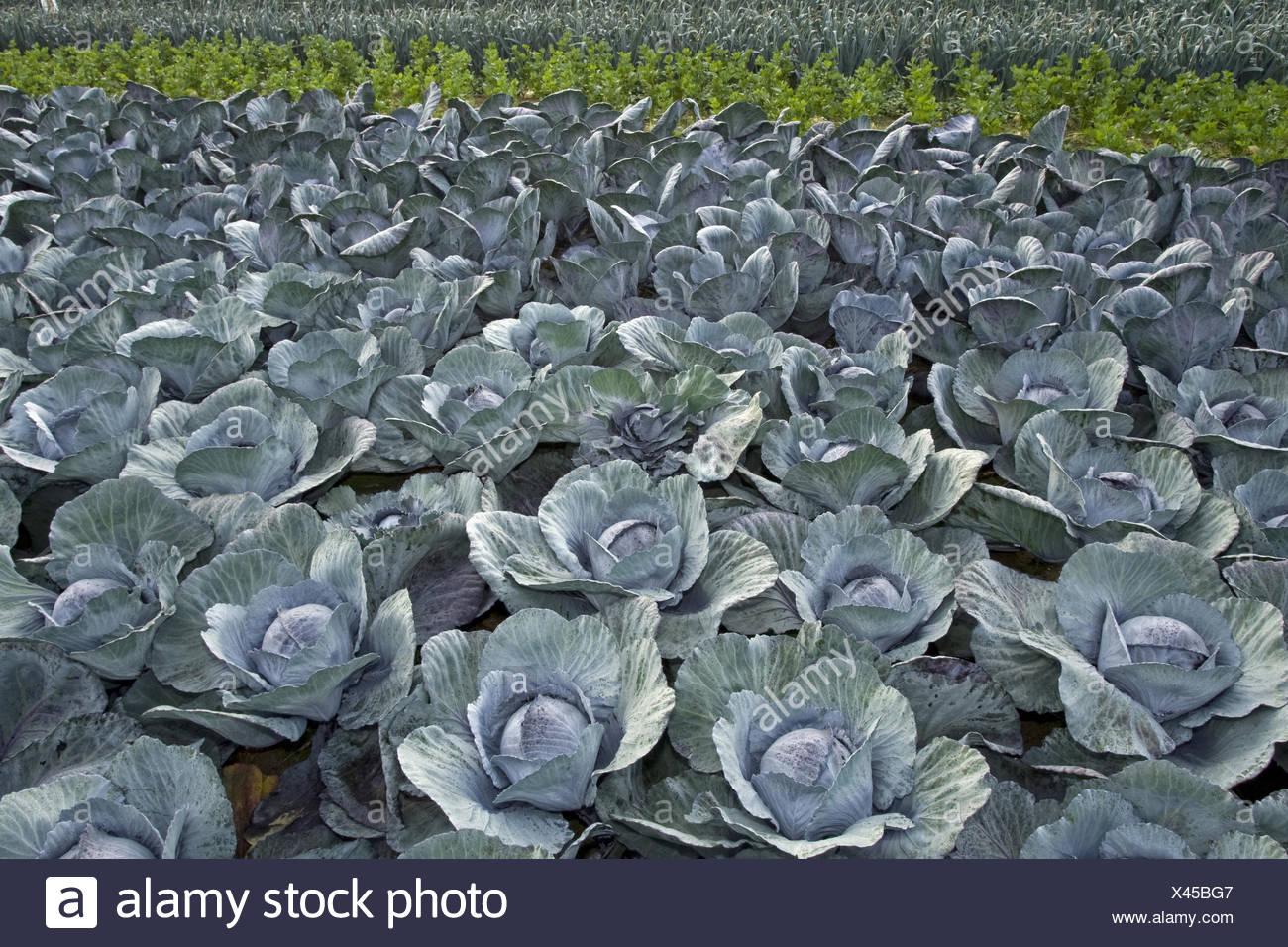 Cavolo rosso, viola, cavolo rosso kraut, blu kraut (Brassica oleracea var. capitata f. rubra), cavolo rosso su un campo, Belgio Fiandre Orientali Immagini Stock