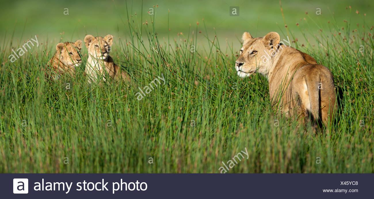 Femmina di leone africano con 4 mese vecchi lupetti, grande palude, Ndutu, Serengeti, Tanzania Immagini Stock