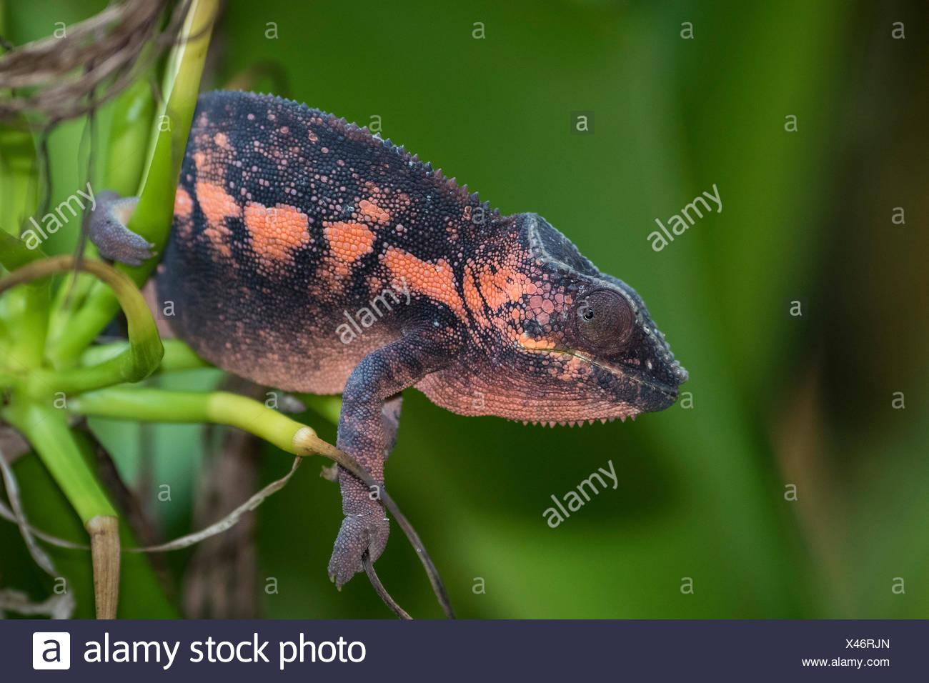 Panther Chameleon (Furcifer pardalis), femmina, captive, nativo del Madagascar Immagini Stock