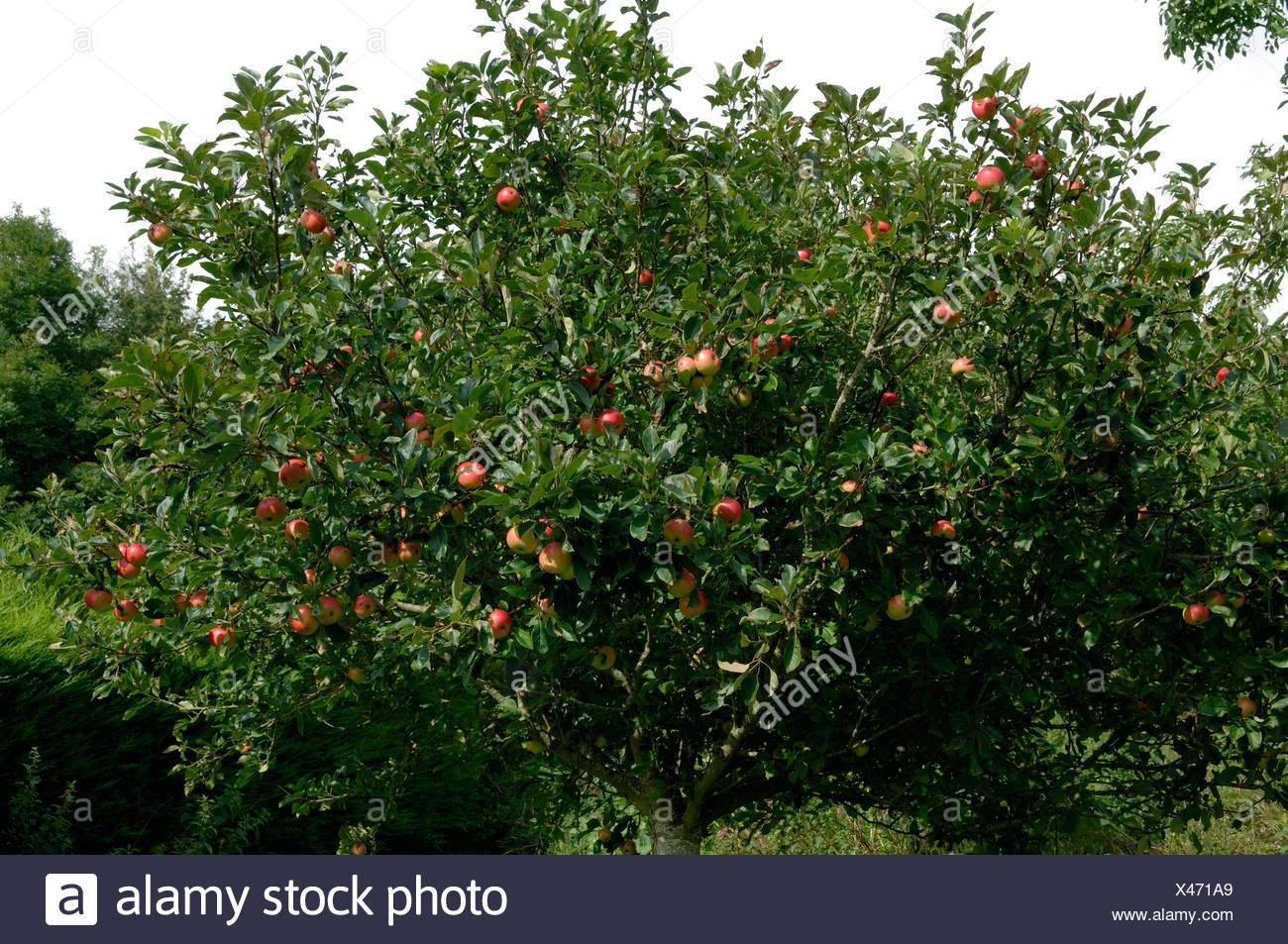 Un giardino standard Apple di scoperta di albero in pieno frutto Devon Immagini Stock